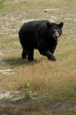 Bild på svartbjörn som lunkar i skogen