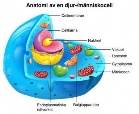 Bild på en cells uppbyggnad
