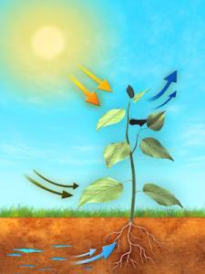 Bild på fotosyntesens förlopp